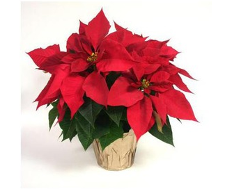 freebies2deals-poinsettia