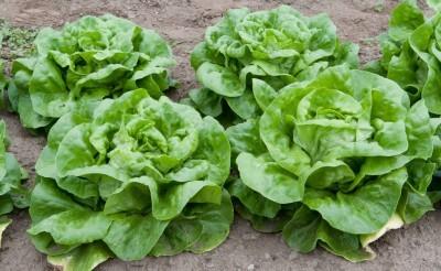 lettuce-heads1-400x246